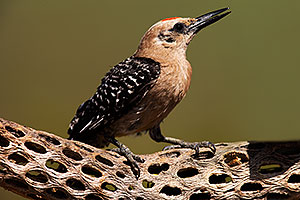 Gila Woodpecker in Tucson