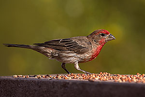 Male House Finch in Tucson