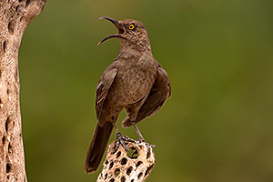Curved Bill Thrasher in Tucson