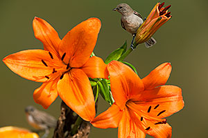 Young Verdins on Orange Lilies in Tucson