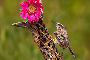 Cactus Wren by Gerbera Daisy flower in Tucson