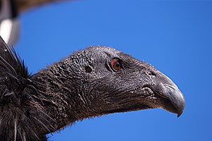 California Condor in Grand Canyon