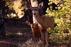 Deer in Grand Canyon