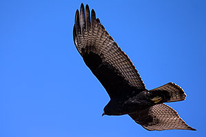 Zone Tailed Hawk in flight in Grand Canyon