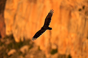 Vulture in flight in evening light at Grand Canyon
