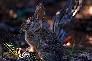 Young rabbit in Grand Canyon