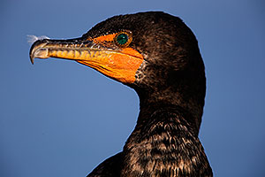 Cormorant in California