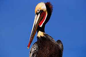 Pelican in California