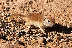 Round Tailed Ground Squirrels in Tucson