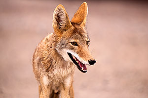 Coyote in Death Valley, California