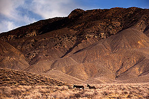 Wildrose Donkeys in Death Valley, California