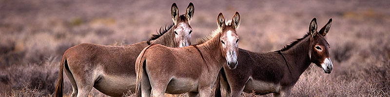 Donkeys in Death Valley, California