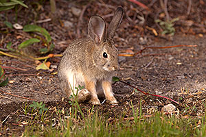 Desert Cottontail in Death Valley, California