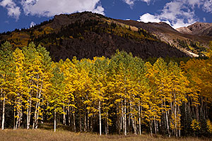 Aspen trees along Red Mountain Pass, Colorado