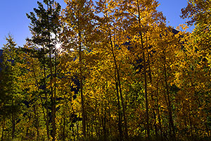 Sun starburst in aspen trees along Red Mountain Pass, Colorado