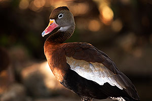 Black Bellied Whistling Duck at Arizona-Sonora Desert Museum