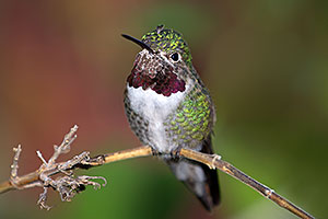Annas Hummingbird in Tucson, Arizona