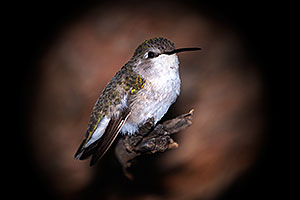 Annas Hummingbird (female) in Tucson, Arizona