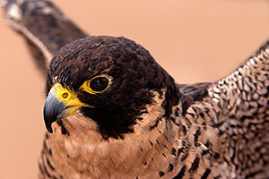 Peregrine Falcon in Tucson, Arizona