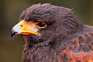Harris Hawk in Tucson, Arizona