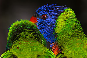 Lorikeets in Tucson, Arizona