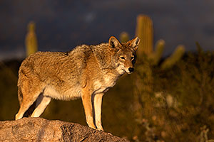 Coyote in Tucson
