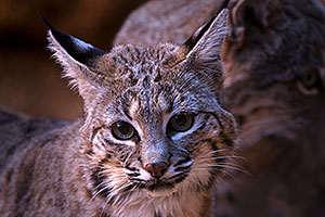 Bobcat in Tucson