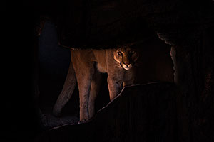 Mountain Lion in Tucson