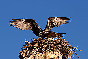 Osprey in the nest at Mono Lake, California