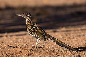 Birds,Roadrunner in Tucson