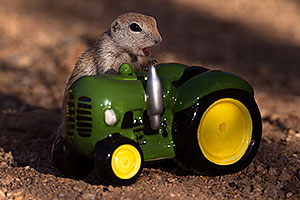 Round Tailed Ground Squirrel with a tractor