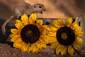 Round Tailed Ground Squirrel with flowers