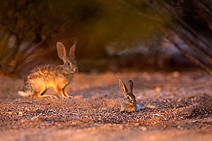 Baby Desert Cottontail