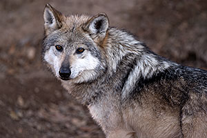 Female Mexican Wolf in Tucson