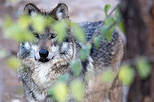 Mexican Wolf in Tucson