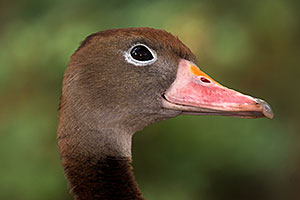 Black Bellied Whistling Duck in Tucson