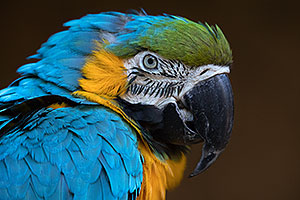 Blue-and-Gold Macaw in Tucson