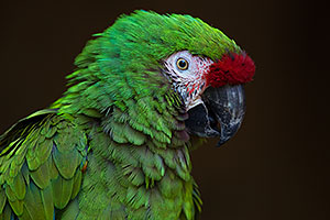 Military Macaw in Tucson