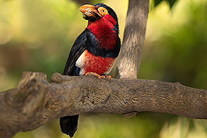 Bearded Barbet at Reid Park Zoo