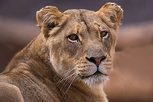 Lioness at Reid Park Zoo