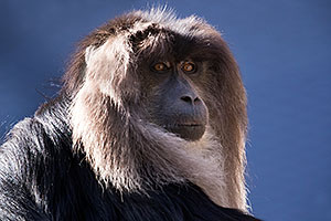 Lion-Tailed Macaque at Reid Park Zoo