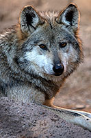 Mexican Wolf at Arizona Sonora Desert Museum