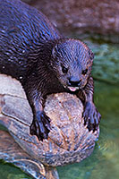 African Spotted Necked Otters at Reid Park Zoo