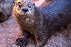 African Spotted Necked Otter at Reid Park Zoo