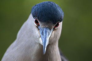 Black Crowned Night Heron at Reid Park Zoo