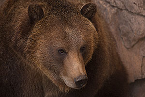 Grizzly Bear at Reid Park Zoo