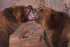 Grizzly Bears at Reid Park Zoo