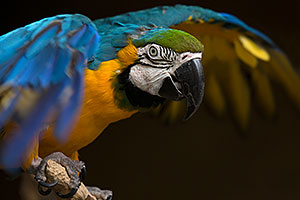 Blue-and-Gold Macaw at Reid Park Zoo