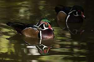 Wood Ducks at Reid Park Zoo