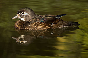 Female Wood Duck at Reid Park Zoo